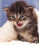 哭泣的逗人喜爱的小猫 免版税库存照片