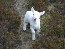 哭诉的接近的羊羔  免版税库存照片