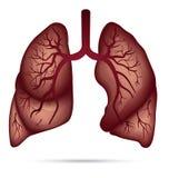 哮喘的,结核病,肺炎人的肺解剖学 肺加州 免版税库存照片