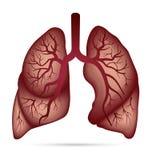 哮喘的,结核病,肺炎人的肺解剖学 肺加州 免版税库存图片