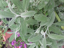 贤哲植物在药草园-特写镜头里 免版税库存图片