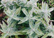 贤哲灰色绿的叶子, Salvia officinalis 免版税图库摄影