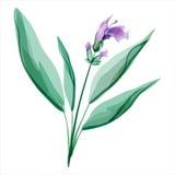 贤哲 Salvia 某处花草甸反弹森林 库存照片