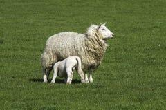 哺乳一只唯一羊羔的母羊 免版税库存图片