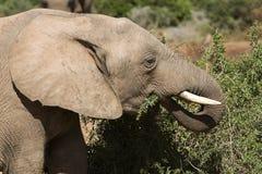 哺乳动物用力嚼 库存照片