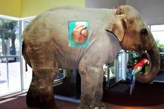 哺乳动物的心脏 免版税库存图片