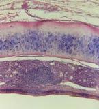 哺乳动物的气管 库存照片