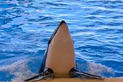 哺乳动物的海怪虎鲸鱼 免版税库存图片
