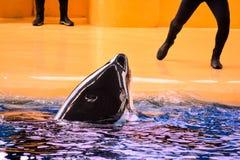 哺乳动物的海怪虎鲸鱼 图库摄影
