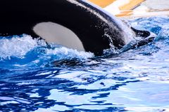 哺乳动物的海怪虎鲸鱼 免版税库存照片
