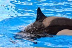 哺乳动物的海怪虎鲸鱼 库存图片