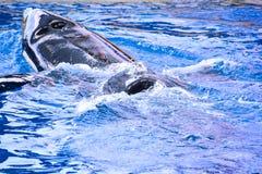 哺乳动物的海怪虎鲸鱼 库存照片