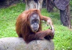 哺乳动物的猩猩大主教猿外套聪明强热带似人类 免版税库存照片