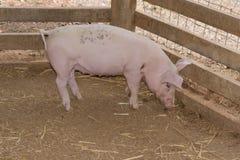 哺乳动物 免版税库存照片