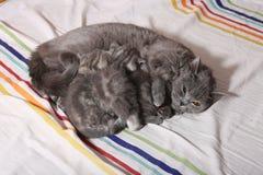 哺乳在卧室的猫 免版税库存图片