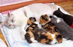 哺乳在母亲猫乳头的小猫。 库存图片
