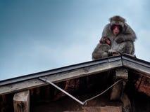 哺乳在Iwatayama猴子公园,京都,日本的猴子 库存照片