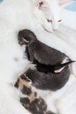哺乳她小的小猫,在白色bakground的谎言的妈咪猫 库存图片