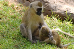 哺乳她的儿童Safary肯尼亚的黑长尾小猴 免版税图库摄影