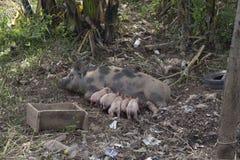 哺乳她的在湄公河的银行的猪女性小猪La的 免版税图库摄影