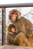 哺乳她的孩子的猴子母亲 库存照片