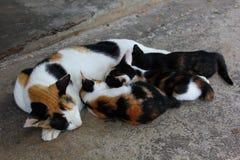 哺乳她的小猫的母亲猫 免版税库存图片