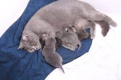 哺乳她的婴孩的母亲猫 库存照片