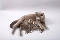 哺乳她的婴孩的猫 库存图片