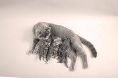 哺乳她的婴孩的猫 库存照片