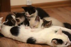 哺乳小猫的猫 库存图片