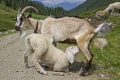 哺乳小的羊羔的母亲山羊 免版税库存图片