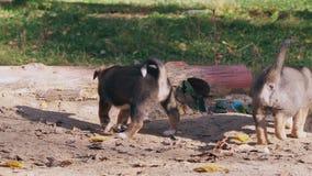 哺乳无家可归的一条狗的小狗没有品种的,妈妈哺乳婴孩 股票录像