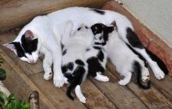 哺乳的小猫 库存照片