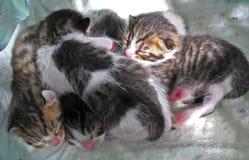 哺乳的小猫 免版税库存照片