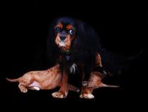 哺乳的狗小狗 免版税库存图片