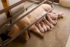 哺乳的猪 库存图片