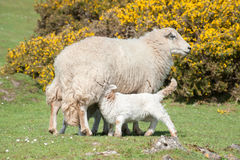 哺乳的羊羔 库存图片