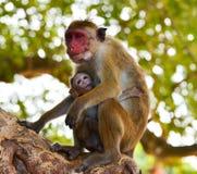 哺乳的猴子 免版税图库摄影