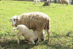 哺乳的绵羊 库存照片