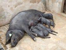 哺乳黑利比亚小猪(Cerdo黑人, Porc Negre) 免版税库存照片