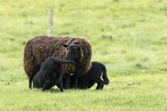 哺乳黑羊羔孪生的母羊 免版税库存照片