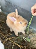 哺养一只小的兔子 免版税图库摄影