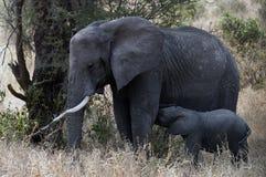 哺养从他的母亲的微小的婴孩大象 免版税库存照片
