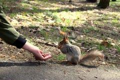 哺养从手的灰鼠 库存照片