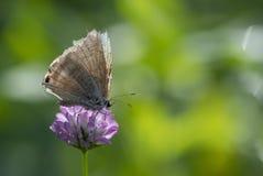哺养从桃红色花的Lampides boeticus 免版税图库摄影