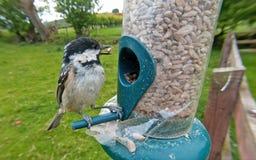哺养从管花生种子饲养者的煤炭山雀 免版税库存照片