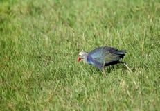 哺养以绿色的紫色Swamphen 免版税库存照片