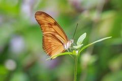 哺养和基于流程的热带茱莉亚蝴蝶新仙女木iulia 免版税库存照片