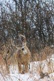 哺养在一个冬天降雪期间的白尾鹿大型装配架 库存照片