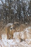 哺养在一个冬天降雪期间的白尾鹿大型装配架 免版税库存照片